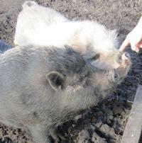 近所の仔/小さな豚たち - @lapie.fr