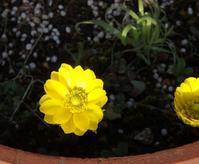 フクジュソウが咲きました - キミティのお花とギター