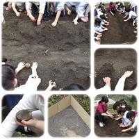 年中組:じゃが芋の植え付け - ひのくま幼稚園のブログ