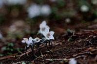 ひっそりと セツブンソウ - azure 自然散策 ~自然・季節・野鳥~