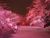 冬に咲くさくらライトアップ:弘前公園*2020.02.08 - 津軽ジェンヌのcafe日記