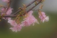 サクラの花だより第1便 - スポック艦長のPhoto Diary