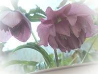 2月の庭vol.2 - グリママの花日記
