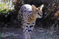 多摩動物公園2020年2月8日サーバル - お散歩ふぉと2