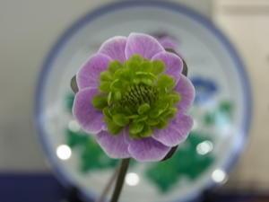 第9回県の花雪割草大会~2~ - harappaの庭別館*ゆきわり草便り*時々バラ