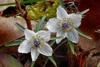春を告げるセツブンソウ - なんでもブログ2