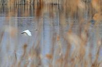 ハクチョウが枯れ葦の陰を低空で飛ぶのをマニュアルフォーカスで仕留める(;'∀') - 『私のデジタル写真眼』