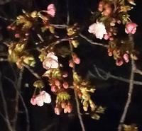 20200217 【自然】桜、開花 - 杉本敏宏のつれづれなるままに