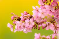 カワヅザクラの花 - やきつべふぉと