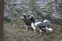 大鷲の舞い - 動物園へ行こう