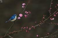 お花が好きなルリビタキ - 野鳥公園