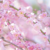 長谷寺のしだれ梅 - エーデルワイスPhoto