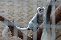 アビシニアコロブスの赤ちゃん(上野動物園 March 2019) - 続々・動物園ありマス。