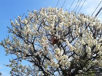 梅の咲く道2/19 - つくしんぼ日記 ~徒然編~