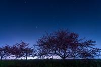 夜のカワヅザクラ- 朝比奈川 - - やきつべふぉと