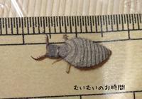 ウスバカゲロウ幼虫~またの名を蟻地獄~ - むいむいのお時間