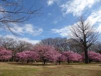 代々木公園の河津桜、きれいだったよ~♪ミモザもね♪ - ルソイの半バックパッカー旅