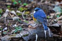瑠璃鶲(ルリビタキ) - 野鳥などの撮影記録
