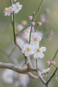 北鎌倉の梅 - エーデルワイスPhoto