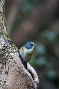 今季初撮りのルリビタキ♂Ad - 武蔵野の野鳥