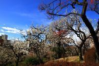 羽根木公園の梅花 - お散歩写真     O-edo line