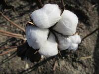 綿の木 - 季節の写真