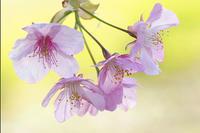 河津桜は満開ですここは乙女チックトーンで - スポック艦長のPhoto Diary