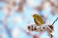 桜にメジロも良いもんだ - スポック艦長のPhoto Diary
