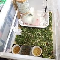 今日のウコッケイちびちゃん - 烏骨鶏かわいいブログ