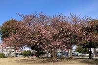 公園の河津桜は3分咲き (2020/2/20撮影) - toshiさんのお気楽ブログ