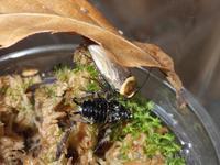 キスジワモンゴキブリ~別の者を通って成る~ - むいむいのお時間