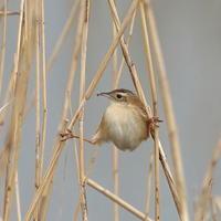 大人気!セッカの『大股開き』IDY - シエロの野鳥観察記録