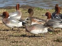 アメリカヒドリ、ゴイサギ他@浮間公園 - 青爺の野鳥日記