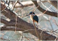 カワセミがペレットを・・・ - 野鳥の素顔 <野鳥と日々の出来事>