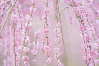 曽我梅林の梅まつり2020 - エーデルワイスPhoto