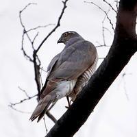 都立公園のツミHGO - シエロの野鳥観察記録