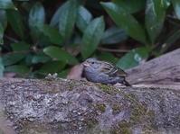 都立公園のクロジ    黒鵐HGO - シエロの野鳥観察記録