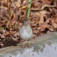 都立公園の人馴れしたシロハラHGO - シエロの野鳥観察記録