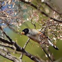 都立公園のコイカルⅡHGO - シエロの野鳥観察記録