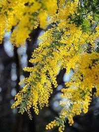 ミモザ - Bonbon Fleur ~ Jours heureux  コサージュ&和装髪飾りボンボン・フルール