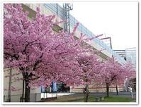 近くで河津桜が満開です。 - 風にのって・・・