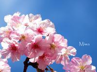 春一番 - Miwaの優しく楽しく☆