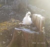 ウコッケイ高い所が好き - 烏骨鶏かわいいブログ
