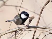 枯れ枝に来たシジュウカラ - コーヒー党の野鳥と自然パート3
