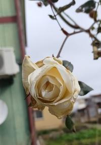 20200222 【自然】寒風のバラ - 杉本敏宏のつれづれなるままに