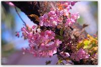 昨日より今日河津桜が綺麗です! - 花ありて 日々