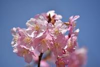 縮景園の桜 - できる限り心をこめて・・Ⅳ