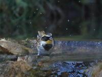 ミヤマホオジロの水浴び - 『彩の国ピンボケ野鳥写真館』