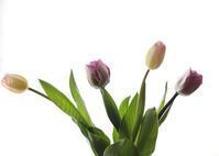 Tulips - HAPPY to ...