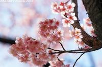 満開の寒桜(和光樹林公園) - 四季彩の部屋Ⅱ